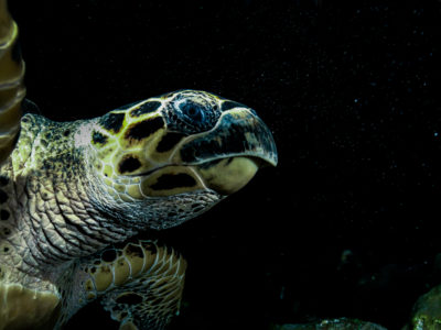 Hawksbill Sea Turtle At Night In Texas